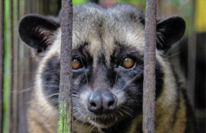 caged-palm-civet